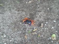 "These Halloween Crabs are ""clackers"" - the claws make a clickety sound on hard surfaces and in the leaves it sound like there are hundreds of them!"
