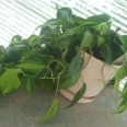 Phil O'Dendron, the Irish vine. My how he's grown under my care! *tear*